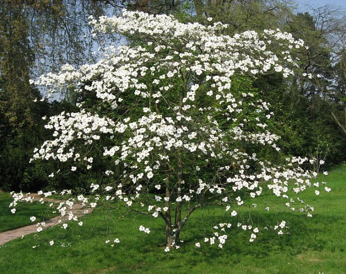 Dogwood tree from Wikimedia commons