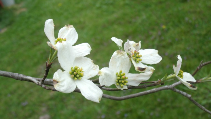 Dogwood blooms in Buckhannon, WV