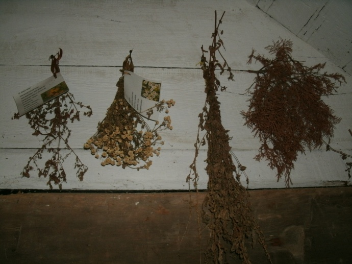 Dried herbs grown for medicine in the 1700 to 1800.