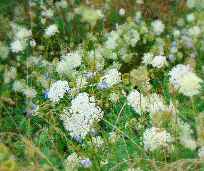queenann lace with blue flowers summer 2016