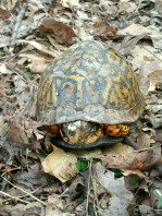 Eastern Box turtle hiding from our dog.
