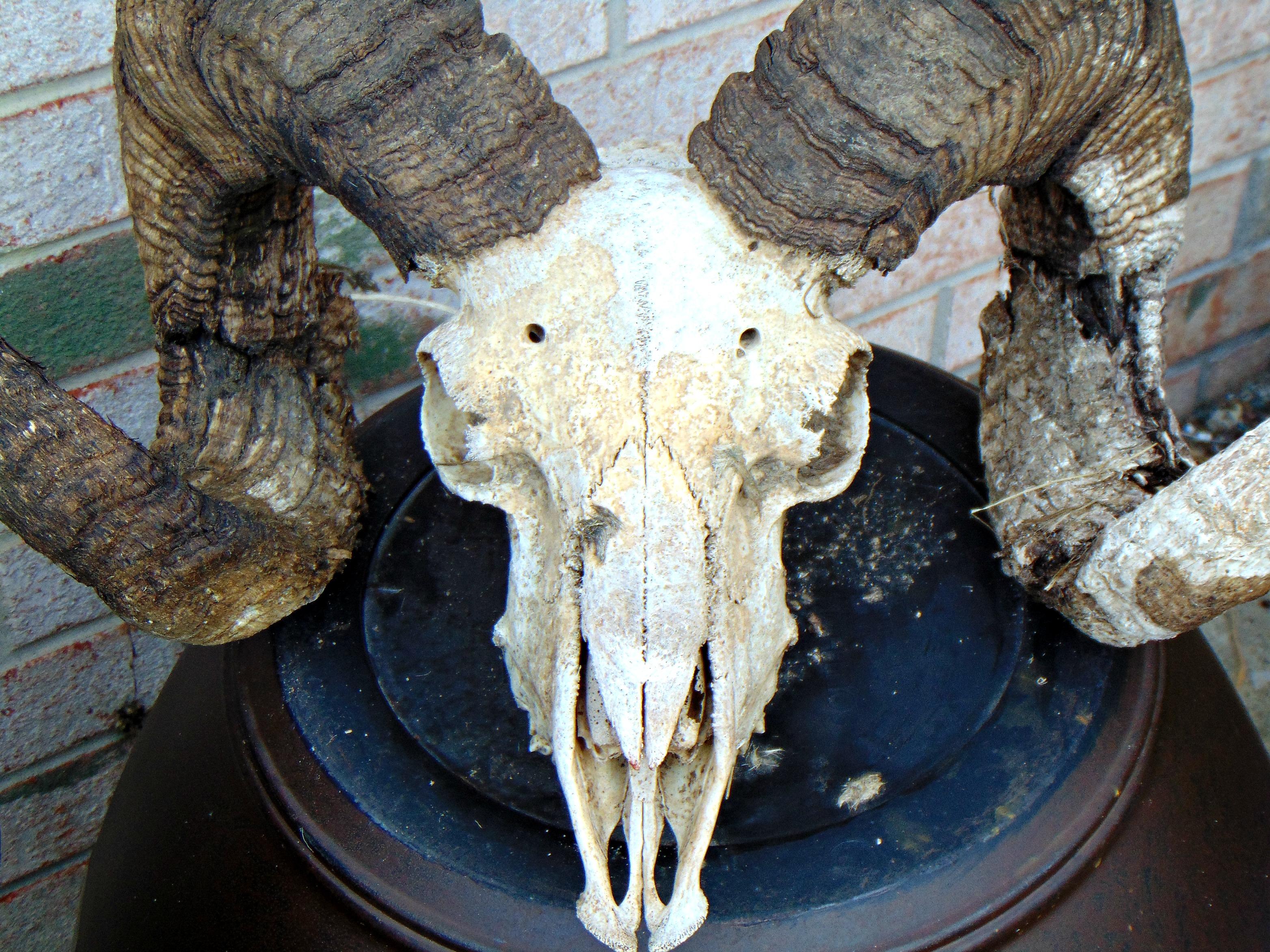 Jacob's Ram skull .jpg