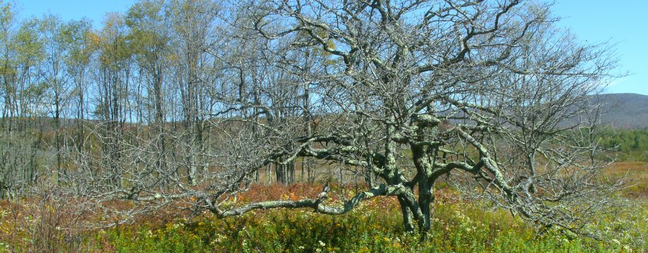 Cropped Thorn Tree On The Canaan Valley Wild Life Refuge