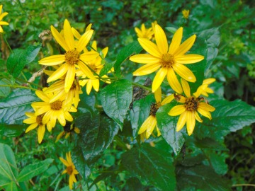 Yellow Flowers at Stuarts Park near Elkins WV