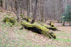 Fallen tree with moss at the lovers lane board walk