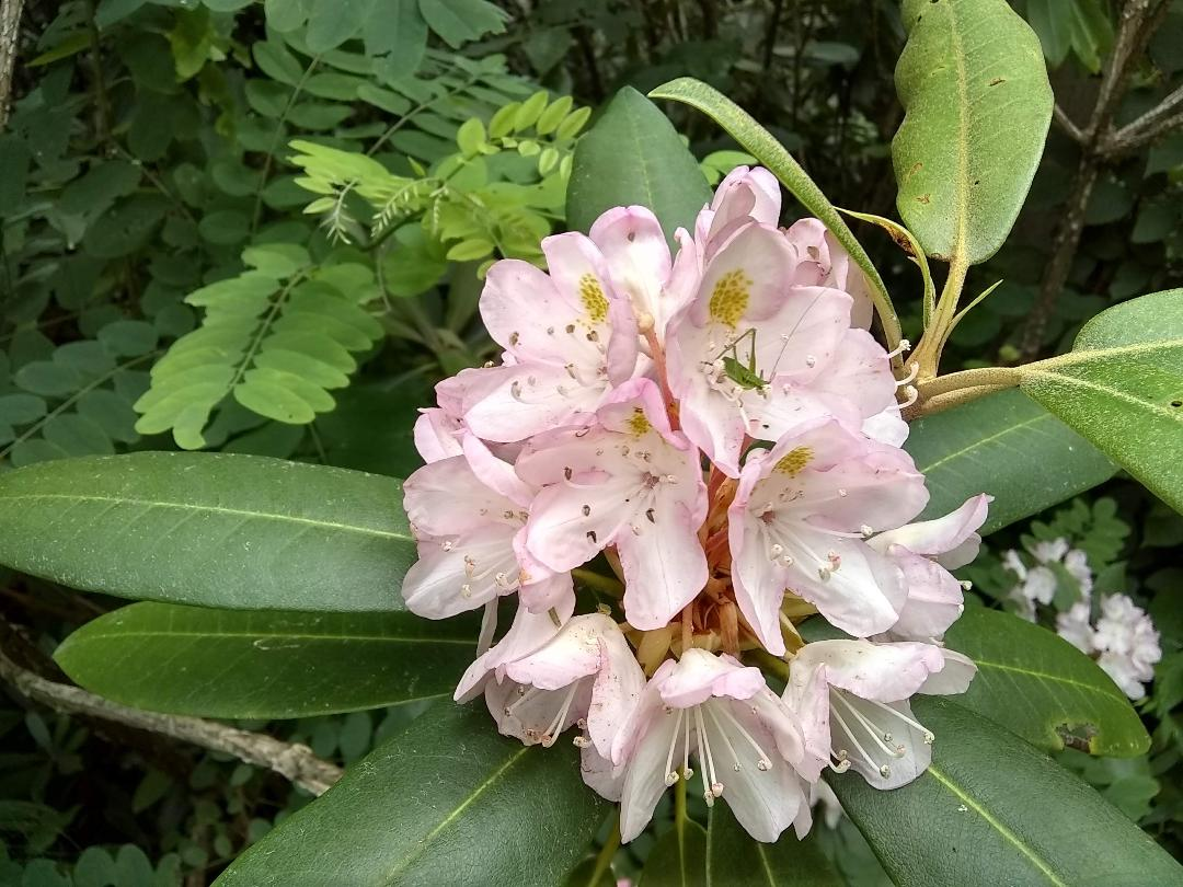 mountain Laurel with bug