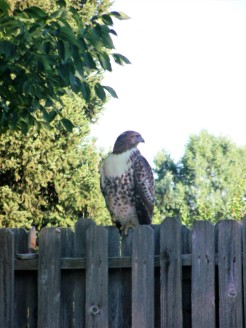 Hawk hunts rabbits at our hotel in Golden,Co.